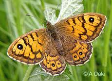 wall brown
